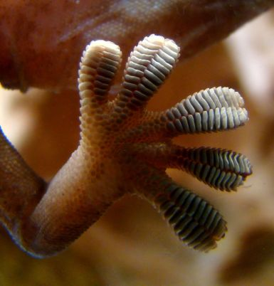 Close-up of the underside of a gecko's foot as it walks on vertical glass