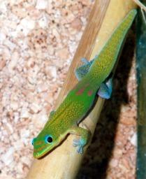 Phelsuma l. laticauda.jpg More details Phelsuma l. laticauda