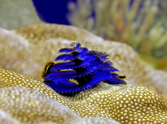 blue_christmas_tree_worm